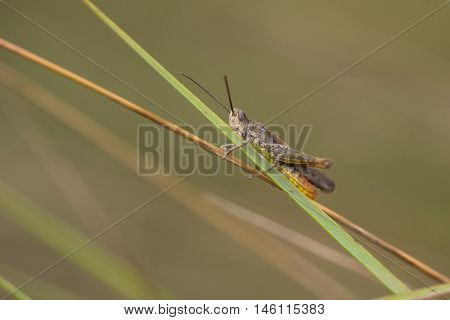 Common Field Grasshopper (Chorthippus brunneus) resting on a Grass-Stalk