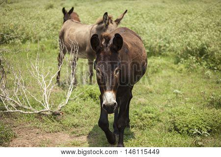 A trio of donkeys follow each other on a trail in an open field.