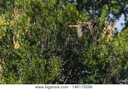 Two Mallard Ducks Flying Over the Marsh