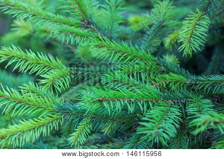 Evergreen fir branches with new grown ramification natural background