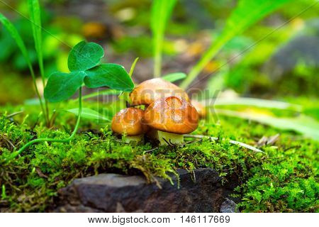 Forest mushrooms in the green grass. Edible mushroom picking. Leccinum scabrum.