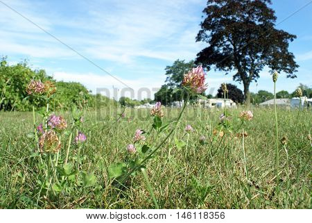 A closeup at ground level of clover fields.