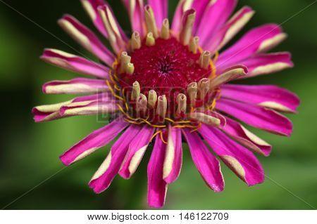 Flower of a common zinnia (Zinnia elegans)