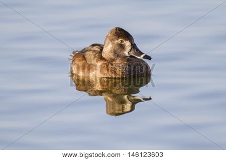 Unperturbed female Ring-necked Duck making eye contact