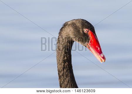 Black Swan on Lake Morton in Lakeland Florida