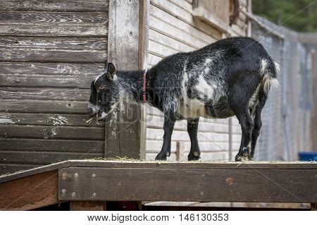 Cute goat eats hay. A cute goat stand on a wood deck eating hay.