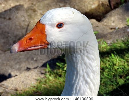 Portrait of White Goose on bank of the Lake Ontario in Toronto Canada August 30 2016