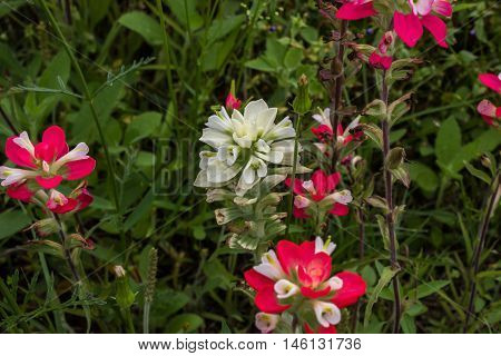 Rare Indian Paintbrush flower with other indian paintbrush.
