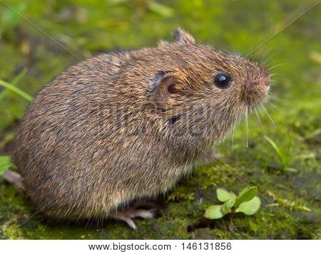 Vield vole (Microtus agrestis) sitting in green surroundings