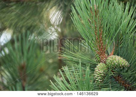Green pine cones and pine needles on a branch