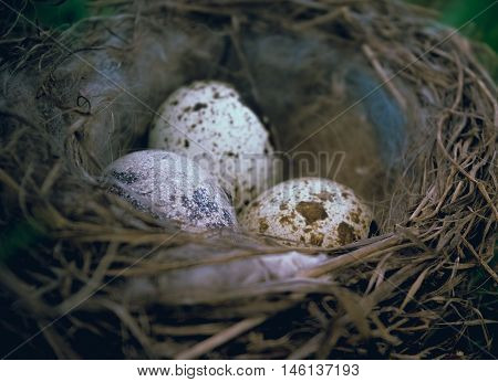 Quail eggs in the nest. Background for Easter greeting card. Easter.