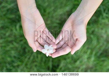 Asian girl hands holding white jasmine flowers, This flower is symbol of Thailand Mother's Day.