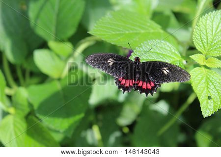 Butterfly with black antennae and outstretched  black and white fore wings and red and black hind wings resting on a plant with green leaves