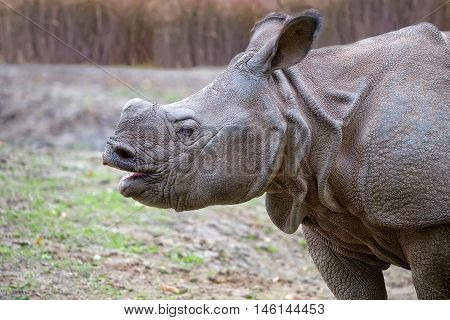 Rhino in a clearing, a portrait in the wild