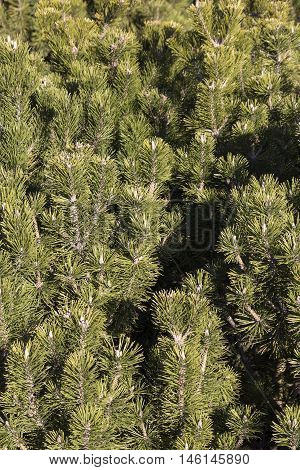 Green twigs of young conifers tree texture background