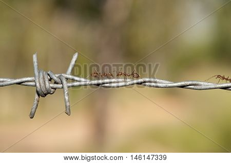 Aggressive Weaver Ant On Barbed Wire Showing Segmented Body And Formidable Jaws.