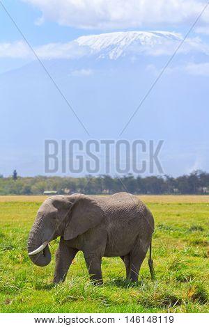 Elephant in front of Kilimanjaro at the background shot at Amboseli national park Kenya