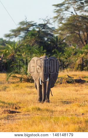 Portrait of an elephant. Shot at sunset in Amboseli National Park Kenya