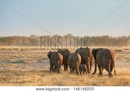 Group of elephants shot at the back in Amboseli Kenya. Wide view. Shot at sunset.
