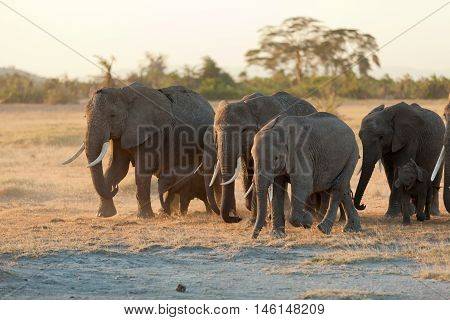 Group of elephants shot at the front in Amboseli Kenya