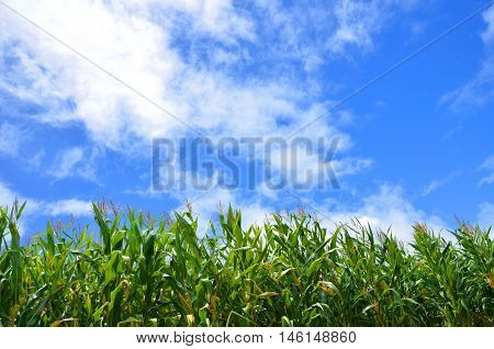 cornfield and blue sky and cloud in thailand