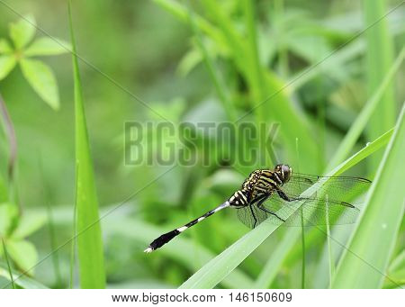 dragonfly perched on grass viewed from the side