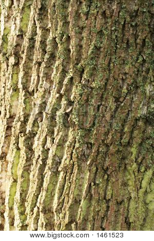 Tulip Tree Bark 2