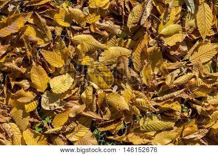 Close detail of autumn yellow dry foliage