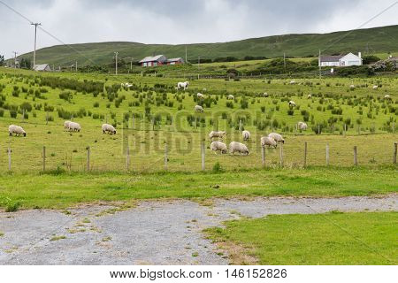 animal husbandry, farming, nature and agriculture concept - sheep grazing on field of connemara in ireland