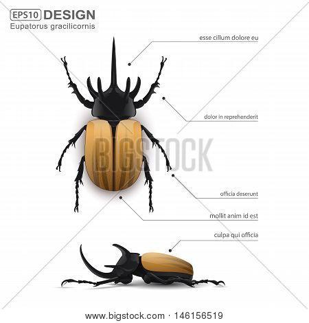 Eupatorus gracilicornis beetle isolated on a white background. vector