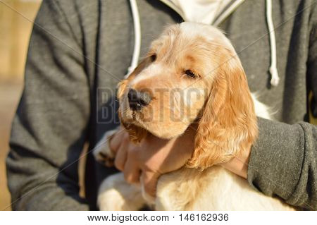 English cocker spaniel puppy  on man hands