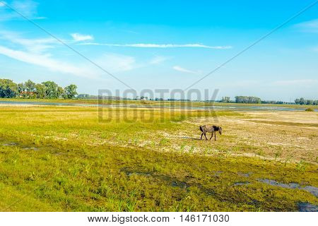 Wild Konik horse walking alone in a swampy nature reserve on a sunny day in the summer season. The marsh area in a Dutch polder is gradually drying up.