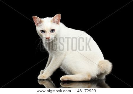 Frightened Blue eyed Female Cat of Breed Mekong Bobtail Sitting and Curious Looks, Isolated Black Background, Color-point Beige Fur, Side view on Tail