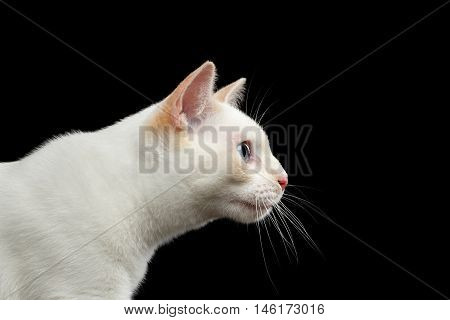 Close-up Portrait of Gorgeous Blue eyed Female Cat of Breed Mekong Bobtail, Stare, Isolated Black Background, Color-point Beige Fur, Profile view