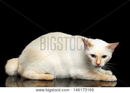 Afraid Cat of Breed Mekong Bobtail, Lying and Looking up on Isolated Black Background, Color-point Fur
