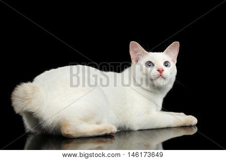 Playful Cat of Breed Mekong Bobtail, Lying and Looking up, Isolated Black Background, Color-point Fur, Back view on Tail