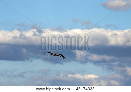 The stork who is freely soaring among clouds