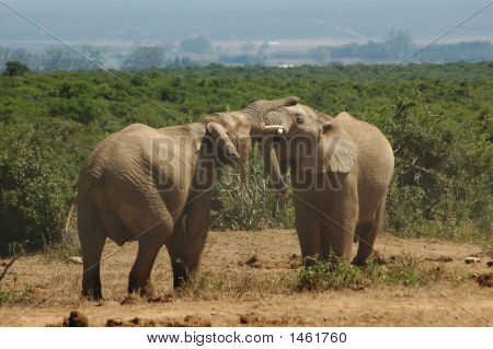 Elephant Bulls Fight