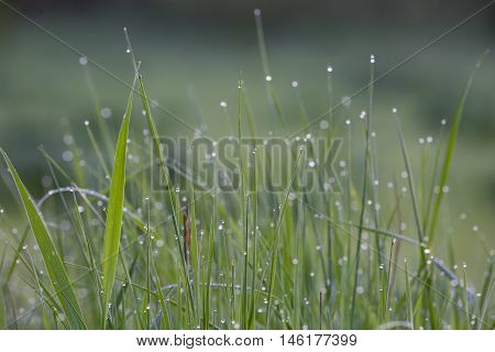 Macro of grass with dew drops. Closeup of fresh grass with dew drops. Nature background. Morning in the field.