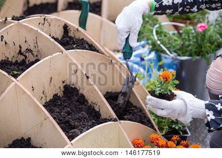 Closeup of gardener's hands planting small flowers at back yard in spring