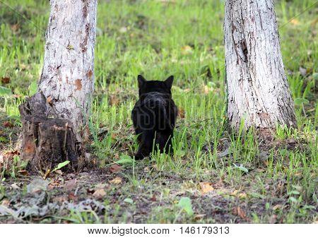 black cat hunts on the birds, hiding between two trees.