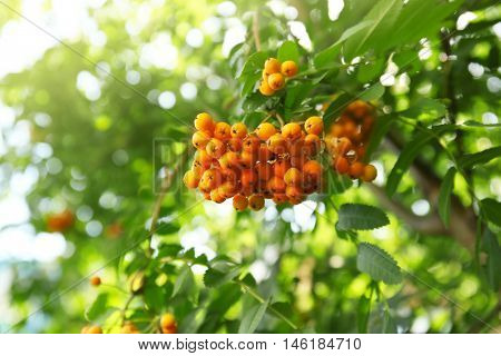Bunch of rowan berry on a tree, close up
