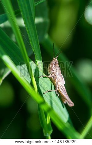 Meadow Grasshopper (Chorthippus parallelus). Macro photograph of a brown grasshopper on a green leaf natural background.