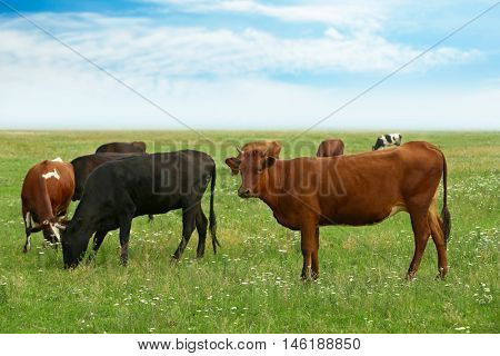 Cows on the meadow