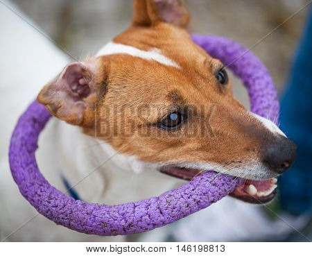 Small Jack Russell Terrier Puppy Playing With Toy
