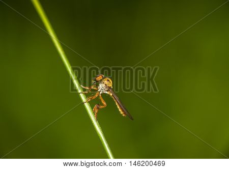 compound eyes of a robberr fly in focus