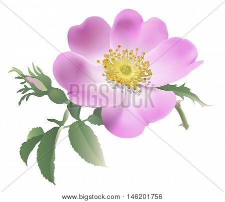 Wild rose - Rosa canina.  Hand drawn vector illustration of a pink rose and bud on transparent background.