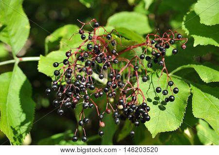 Elderberry on branch against the green leaves