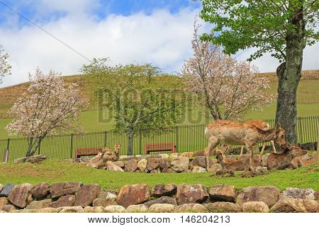 A group of deer chilling at Nara Park in freedom during spring in Japan
