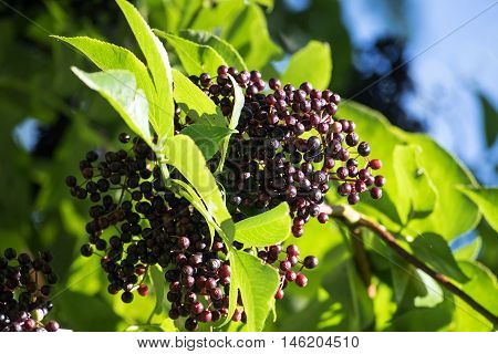 black elderberries (Sambucus nigra) between the leaves on a shrub in the park on a sunny day in late summer